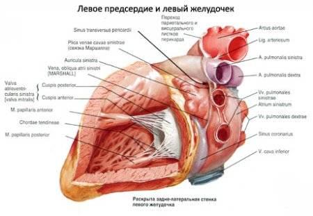 hipertónia szív hipertrófiával magas vérnyomás epilepsziával