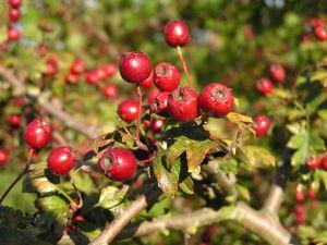 galagonya gyümölcs hipertónia magas vérnyomás és salak